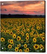 Sunflowers To The Sky Acrylic Print