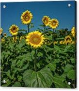 Sunflowers Weldon Spring Mo Ver1_dsc9821_16 Acrylic Print