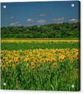Sunflowers Weldon Spring Mo_dsc9830_16 Acrylic Print