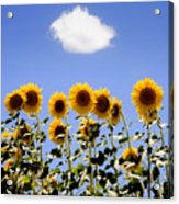 Sunflowers With A Cloud Acrylic Print