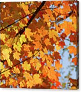 Sunlight In Maple Tree Acrylic Print