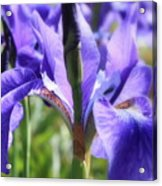 Sunlight On Blue Irises Acrylic Print by Carol Groenen