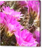Sunlight On Pink Cactus Blooms Acrylic Print