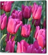 Sunlight On Pink Tulips Acrylic Print