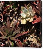 Sunlight On Succulents Acrylic Print
