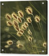 Sunlight On Wild Grasses Acrylic Print
