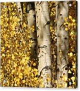 Sunlight Shines On Golden Aspen Leaves Acrylic Print by Charles Kogod