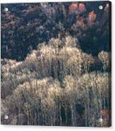 Sunlit Bare Autumn Aspens 1 Acrylic Print