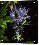 Sunlit Bloom Of Alpine Sea Holly Acrylic Print