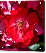 Sunlit Blooms Of Dortmund Hybrid Scots Briar Rose Acrylic Print