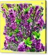 Sunlit Daphne Acrylic Print