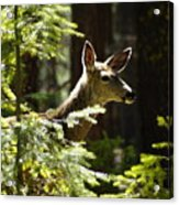 Sunlit Deer Friend Acrylic Print