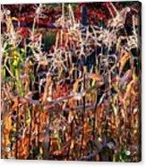 Sunlit Fall Corn Acrylic Print