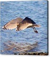 Sunlit Gull Wings Acrylic Print