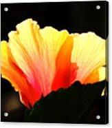 Sunlit Hibiscus Acrylic Print