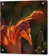 Sunlit Lilly Acrylic Print
