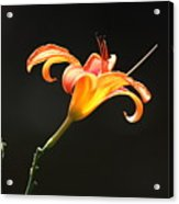 Sunlit Lily Stretching Acrylic Print