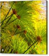 Sunlit Paparus Acrylic Print