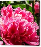 Sunlit Pink Peony Acrylic Print
