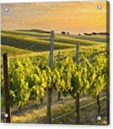 Sunlit Vineyard Acrylic Print