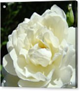 Sunlit White Rose Art Print Floral Giclle Print Baslee Troutman  Acrylic Print