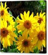 Sunlit Wild Sunflowers Acrylic Print
