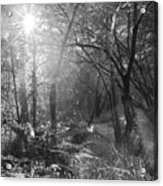 Sunlit Woods, West Dipton Burn Acrylic Print