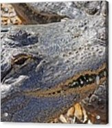 Sunning Alligator 2 Acrylic Print