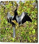 Sunning Anhingas Bird One Acrylic Print