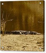 Sunning Gator Acrylic Print