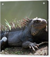 Sunning Gray Iguana Sitting Beside Water Acrylic Print