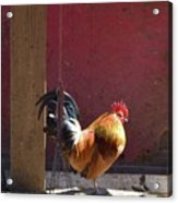 Sunning Rooster Acrylic Print