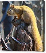 Sunning Squirrel Acrylic Print