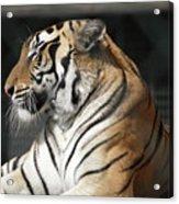 Sunning Tiger Acrylic Print