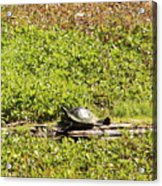 Sunning Turtle In Swamp Acrylic Print