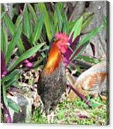Sunny Cock Acrylic Print