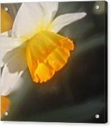 Sunny Daffodil Acrylic Print