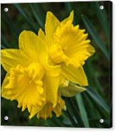Sunny Daffodils Acrylic Print