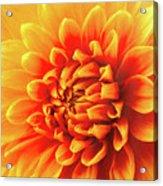 Sunny Dahlia Acrylic Print