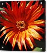 Sunny Iceplant Acrylic Print