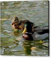 Sunny Mallard Ducks Acrylic Print