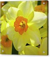 Sunny Narcissus Acrylic Print
