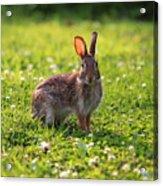 Sunny Bunny Acrylic Print
