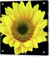 Sunny Sunflower Black Yellow Acrylic Print