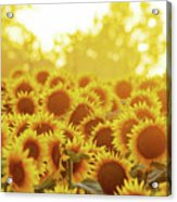Sunny Sunflower Sunset Acrylic Print