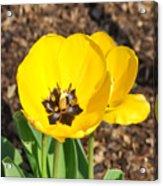 Sunny Yellow Tulips Acrylic Print