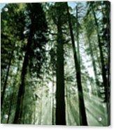 Sunrise Beams N Sequoia Acrylic Print
