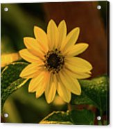 Sunrise Daisy Delray Beach Florida Acrylic Print