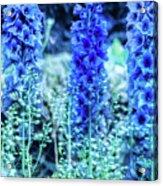 Sunrise Delphiniums Acrylic Print