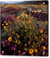 Sunrise On Desert Wildflowers Acrylic Print
